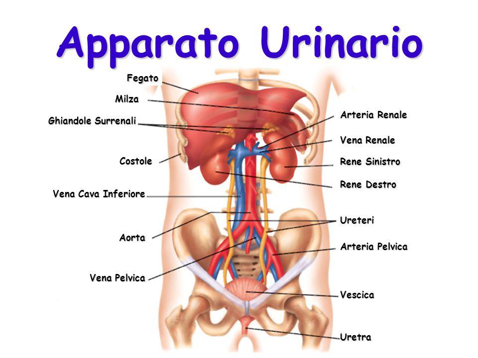 Apparato Urinario Arteria Renale Rene Sinistro Aorta Arteria Pelvica Vescica Uretra Rene Destro Vena Pelvica Ureteri Vena Renale Ghiandole Surrenali V