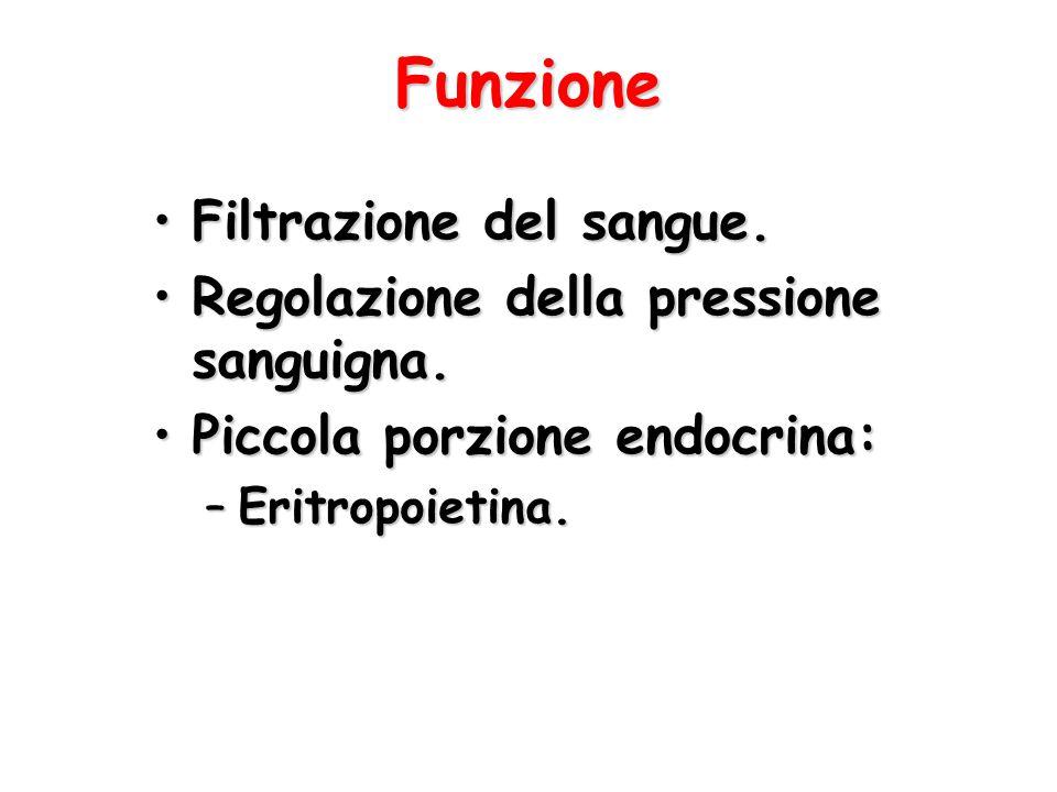 Funzione Filtrazione del sangue.Filtrazione del sangue. Regolazione della pressione sanguigna.Regolazione della pressione sanguigna. Piccola porzione