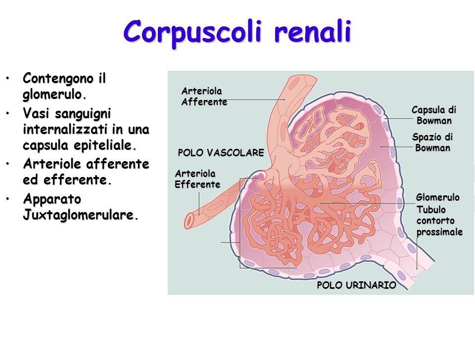 Corpuscoli renali Contengono il glomerulo.Contengono il glomerulo. Vasi sanguigni internalizzati in una capsula epiteliale.Vasi sanguigni internalizza