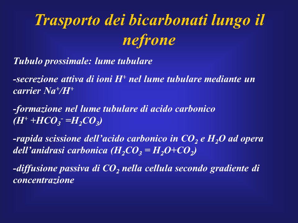 Trasporto dei bicarbonati lungo il nefrone Tubulo prossimale: lume tubulare -secrezione attiva di ioni H + nel lume tubulare mediante un carrier Na +