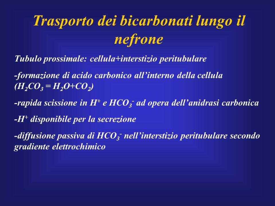 Trasporto dei bicarbonati lungo il nefrone Tubulo prossimale: cellula+interstizio peritubulare -formazione di acido carbonico all'interno della cellul