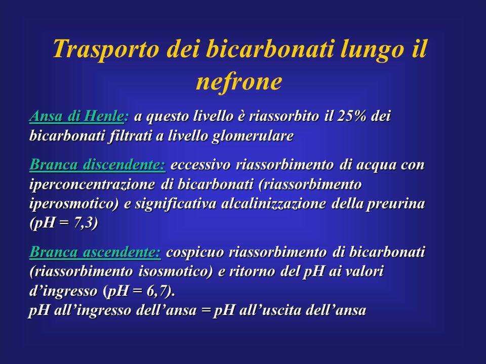 Trasporto dei bicarbonati lungo il nefrone Ansa di Henle: a questo livello è riassorbito il 25% dei bicarbonati filtrati a livello glomerulare Branca