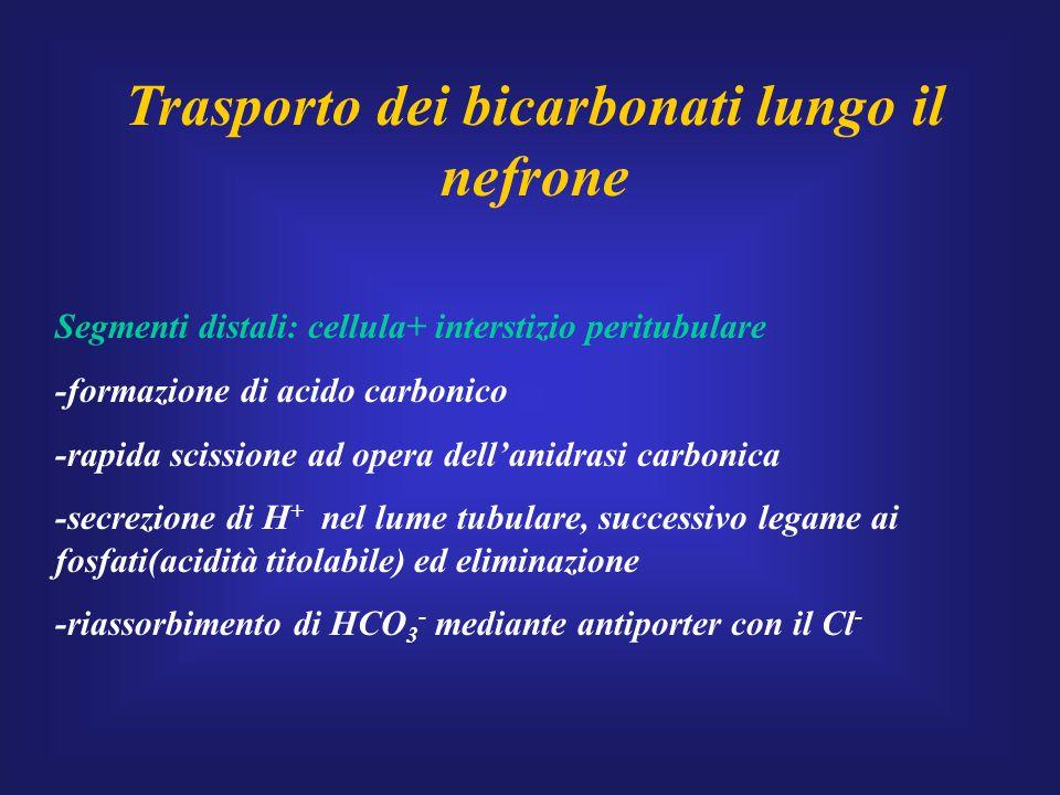 Trasporto dei bicarbonati lungo il nefrone Segmenti distali: cellula+ interstizio peritubulare -formazione di acido carbonico -rapida scissione ad ope