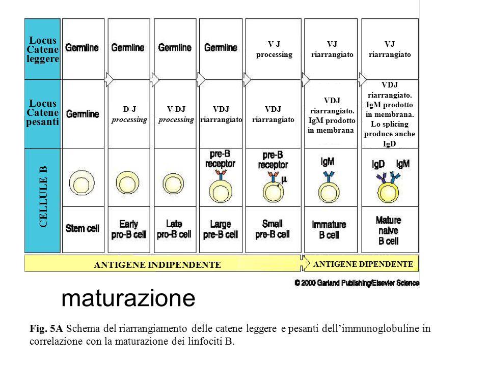 ANTIGENE INDIPENDENTE ANTIGENE DIPENDENTE CELLULE B VDJ riarrangiato. IgM prodotto in membrana Locus Catene pesanti Locus Catene leggere VDJ riarrangi