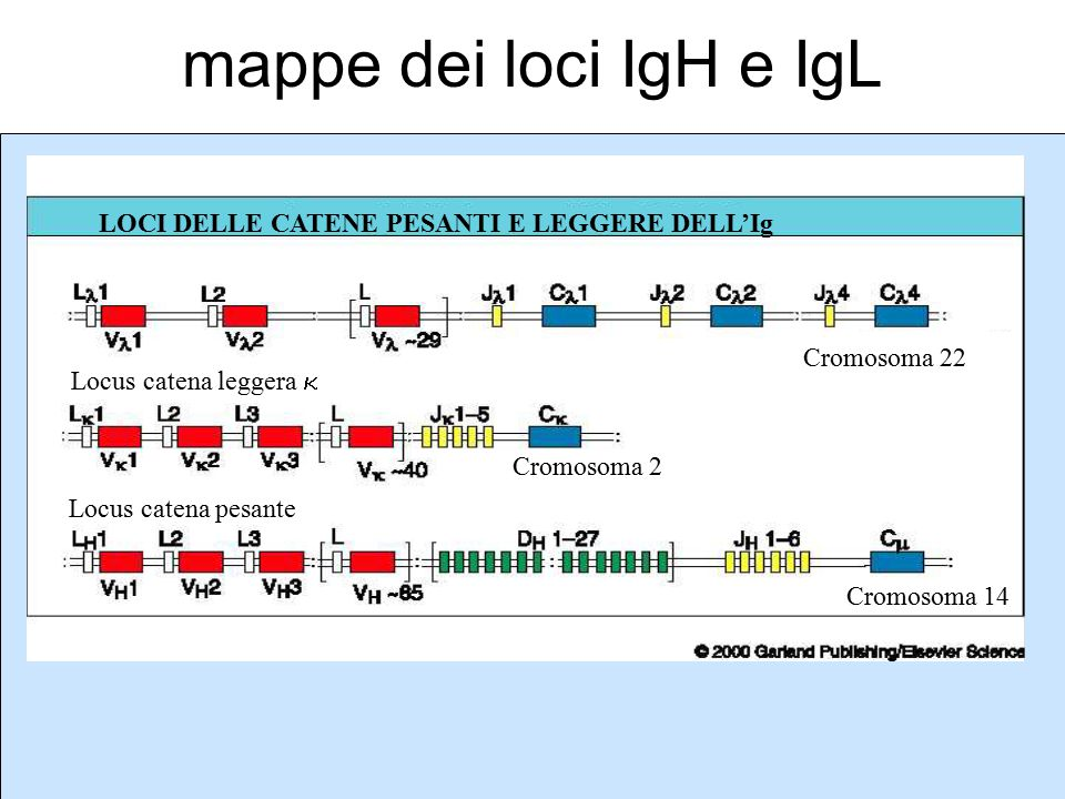 Locus catena leggera Locus catena leggera  Locus catena pesante Cromosoma 22 Cromosoma 2 Cromosoma 14 LOCI DELLE CATENE PESANTI E LEGGERE DELL'Ig map