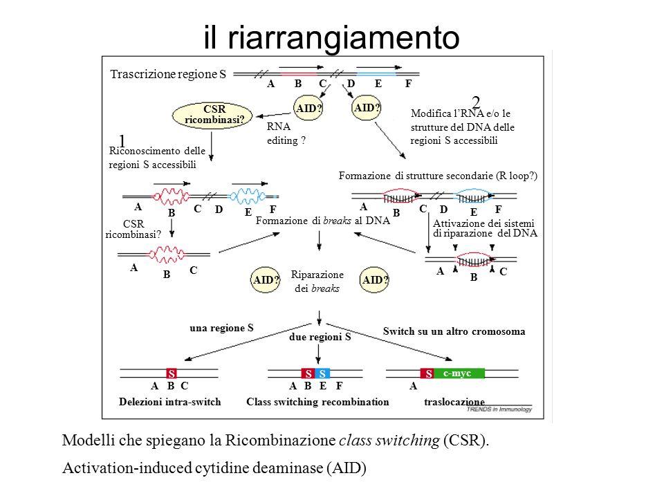 ABCDFE Trascrizione regione S RNA editing ? AID? CSR ricombinasi? Riconoscimento delle regioni S accessibili Formazione di breaks al DNA A B C DF E A