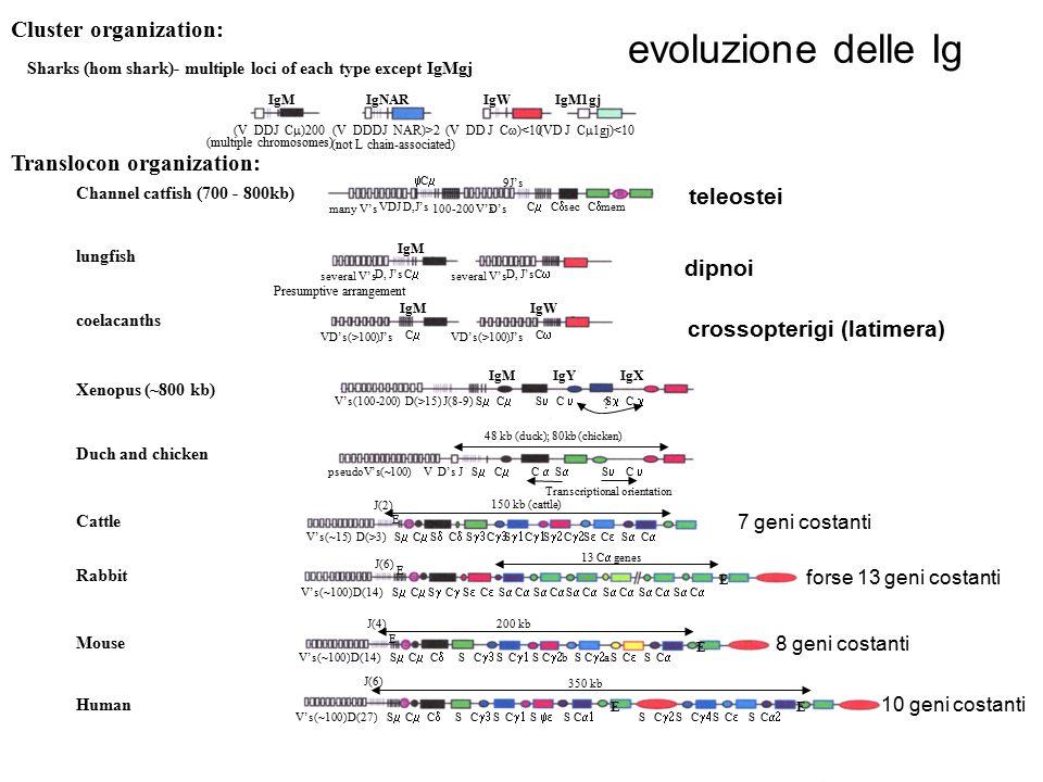 evoluzione delle Ig