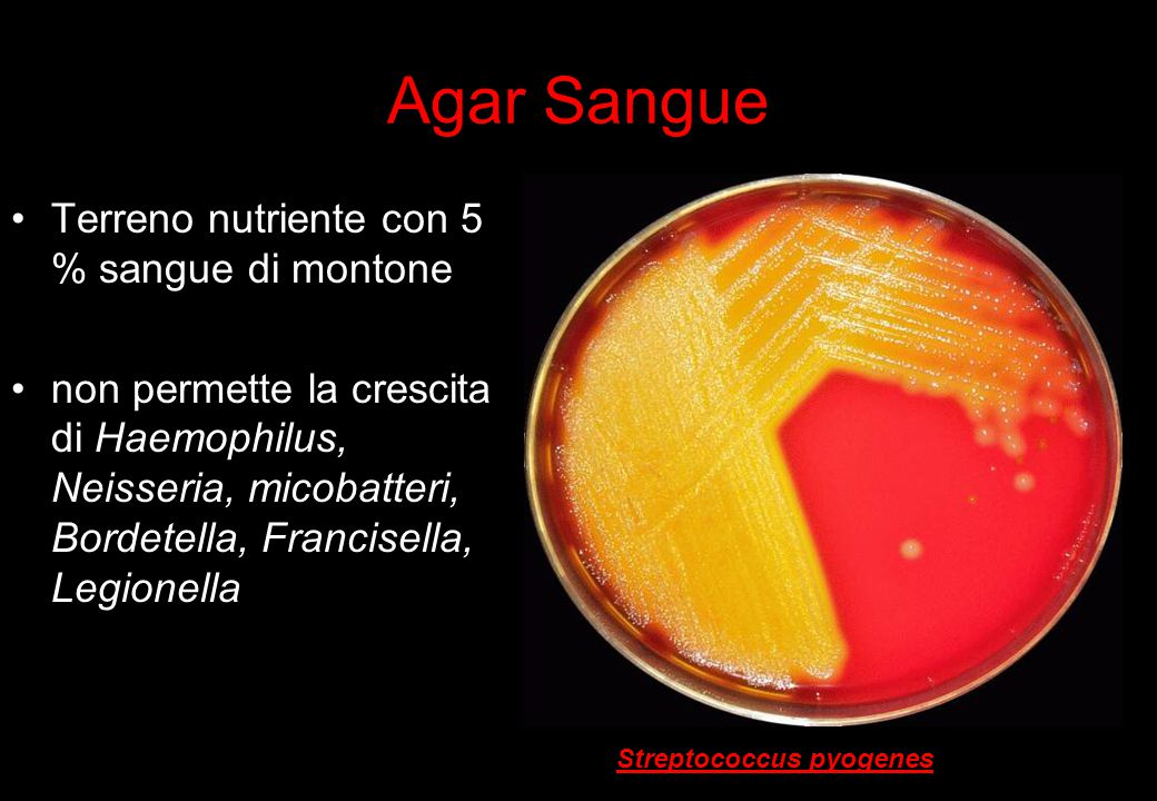 10 Agar Sangue Terreno nutriente con 5 % sangue di montone non permette la crescita di Haemophilus, Neisseria, micobatteri, Bordetella, Francisella, Legionella Streptococcus pyogenes