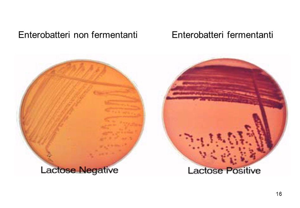 16 Enterobatteri non fermentantiEnterobatteri fermentanti