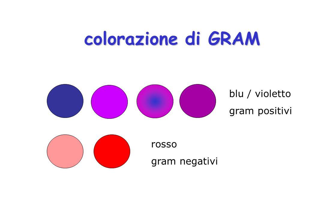 colorazione di GRAM blu / violetto gram positivi rosso gram negativi