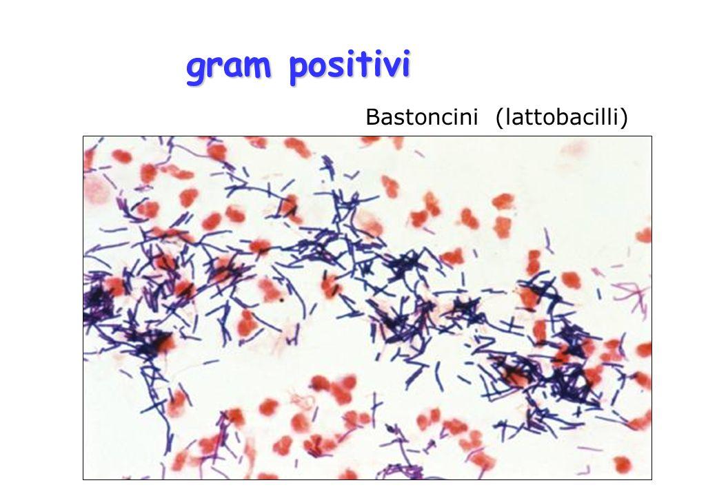 gram positivi Bastoncini (lattobacilli)