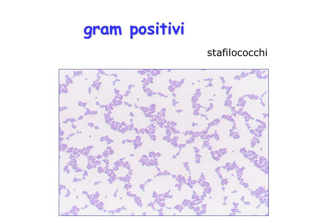 stafilococchi gram positivi