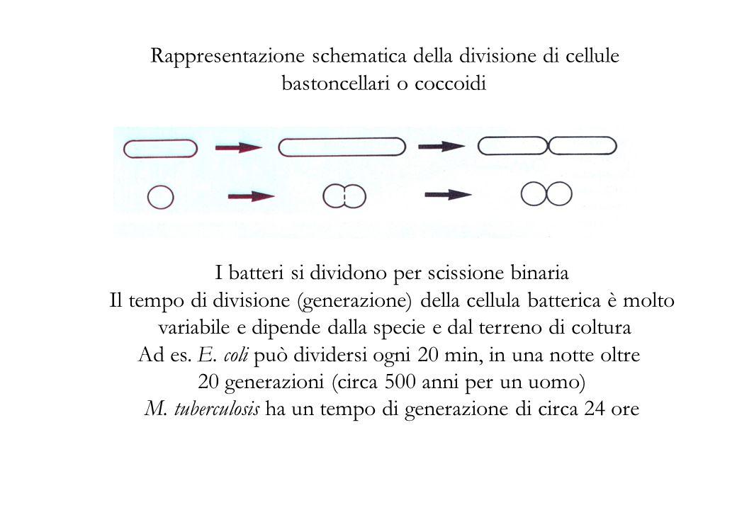 Rappresentazione schematica della divisione di cellule bastoncellari o coccoidi I batteri si dividono per scissione binaria Il tempo di divisione (generazione) della cellula batterica è molto variabile e dipende dalla specie e dal terreno di coltura Ad es.