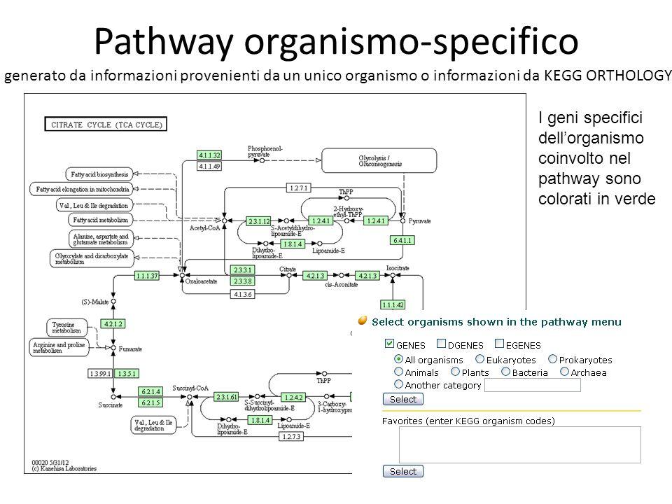 Pathway organismo-specifico generato da informazioni provenienti da un unico organismo o informazioni da KEGG ORTHOLOGY I geni specifici dell'organismo coinvolto nel pathway sono colorati in verde