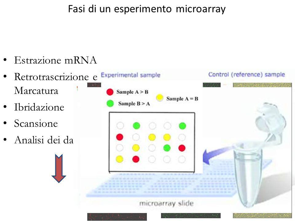 Fasi di un esperimento microarray Estrazione mRNA Retrotrascrizione e Marcatura Ibridazione Scansione Analisi dei dati