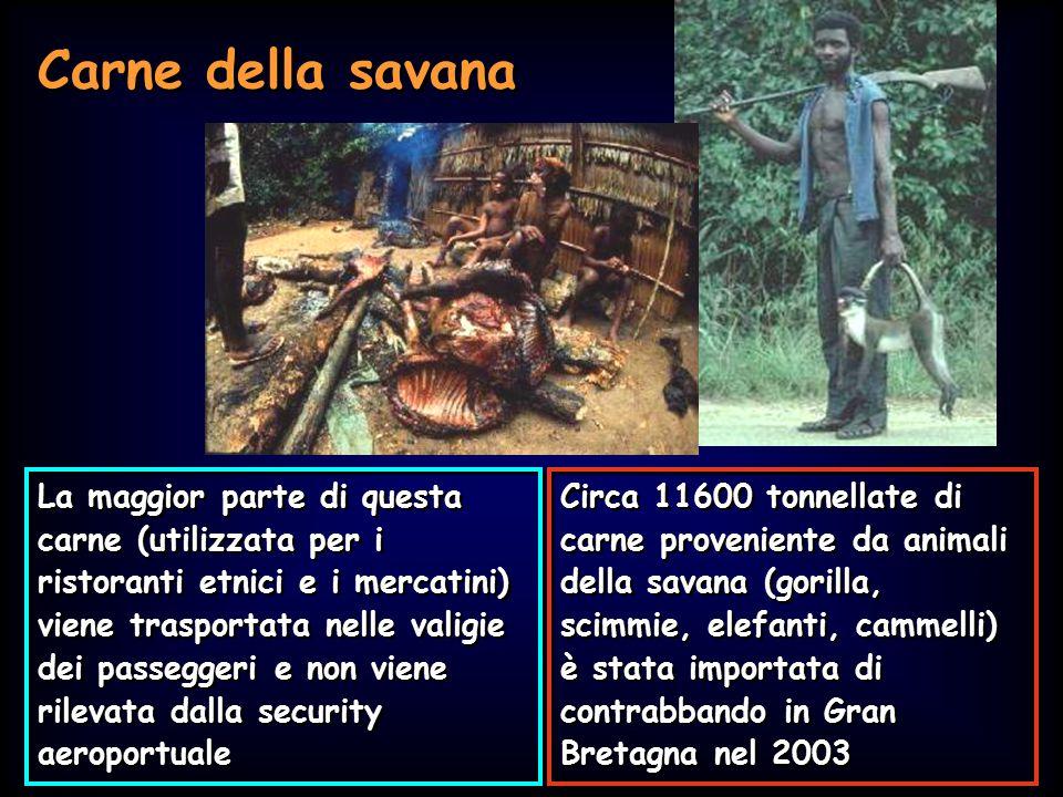 Simit 11/2008 Carne della savana Circa 11600 tonnellate di carne proveniente da animali della savana (gorilla, scimmie, elefanti, cammelli) è stata im