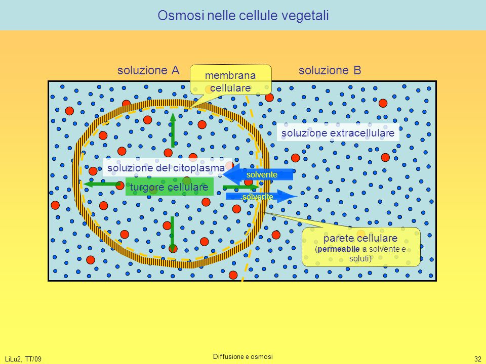 LiLu2, TT/09 Diffusione e osmosi 32 Osmosi nelle cellule vegetali soluzione del citoplasma soluzione extracellulare soluzione A soluzione B parete cel
