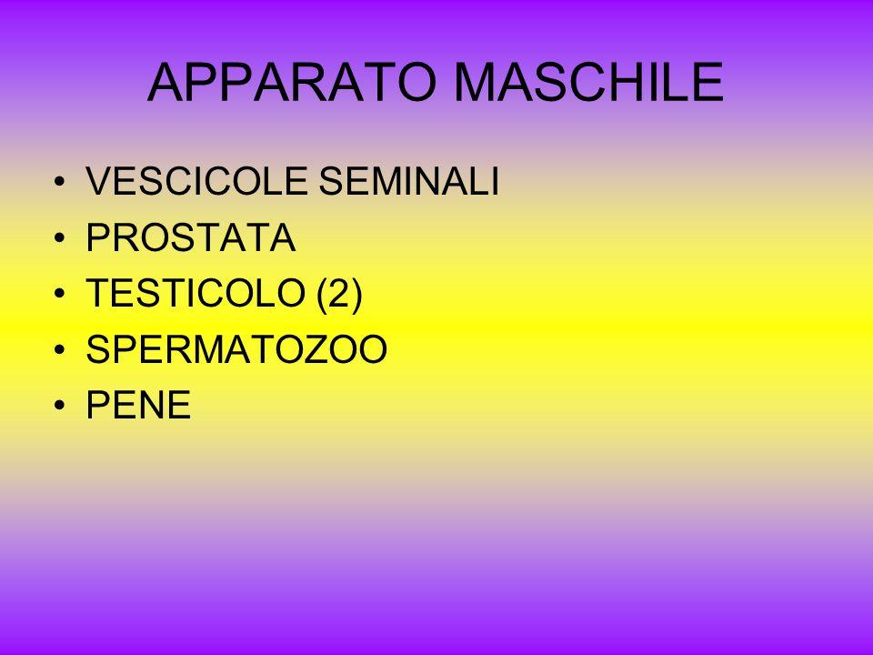 APPARATO MASCHILE VESCICOLE SEMINALI PROSTATA TESTICOLO (2) SPERMATOZOO PENE