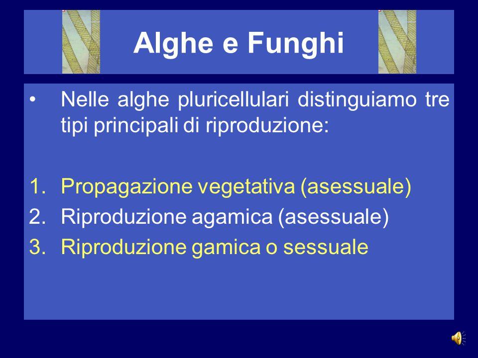 Alghe e Funghi Le alghe pluricellulari sono distinte in base a varie caratteristiche, delle quali la più rilevante è il colore. Distinguiamo pertanto: