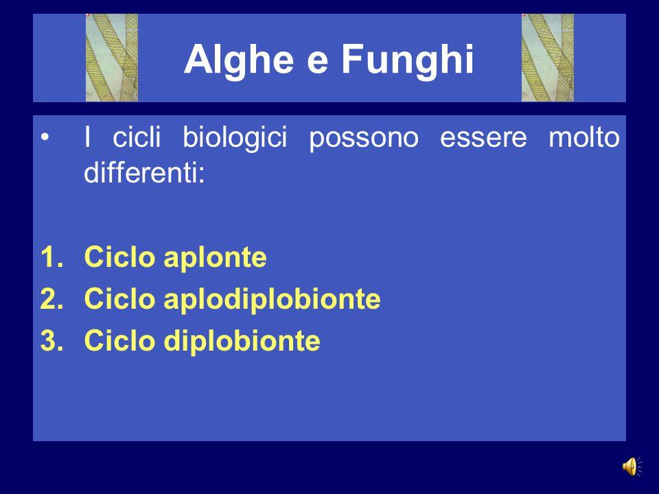 Alghe e Funghi La riproduzione vegetativa si ha quando una parte della pianta si distacca da essa per formare un nuovo individuo. La riproduzione agam