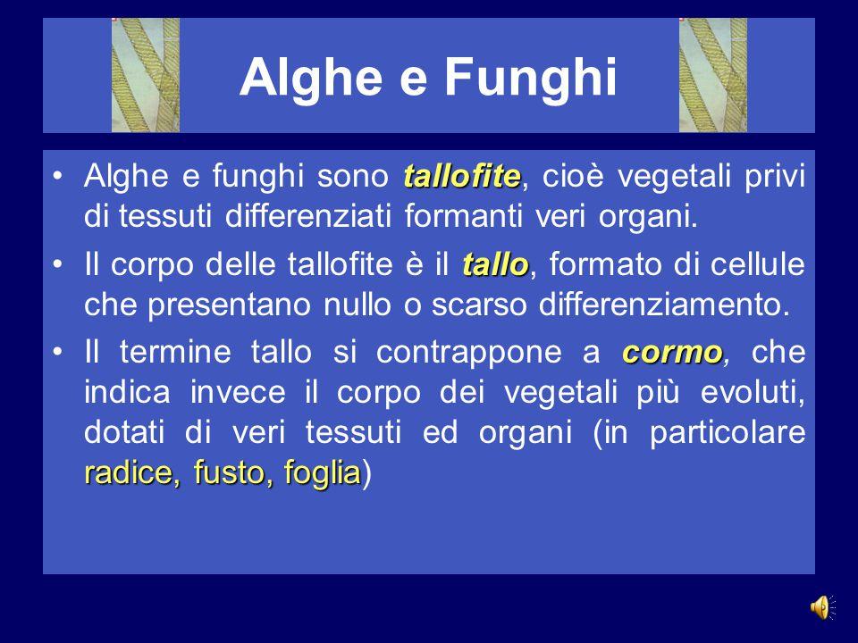 Alghe e Funghi tallofiteAlghe e funghi sono tallofite, cioè vegetali privi di tessuti differenziati formanti veri organi.