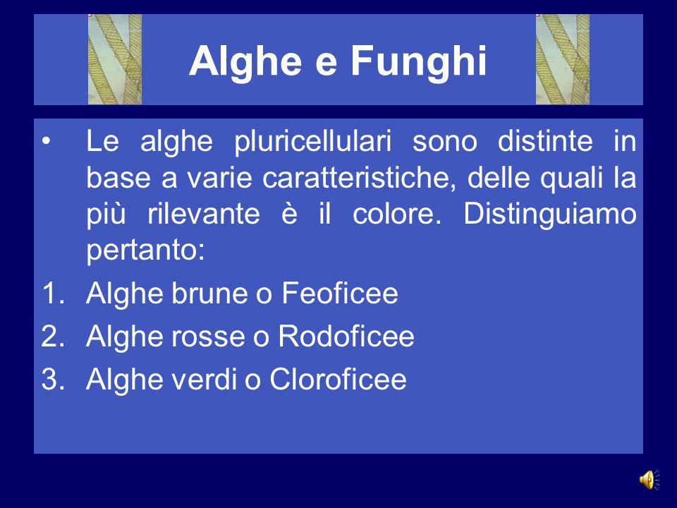 Alghe e Funghi Le alghe pluricellulari sono distinte in base a varie caratteristiche, delle quali la più rilevante è il colore.