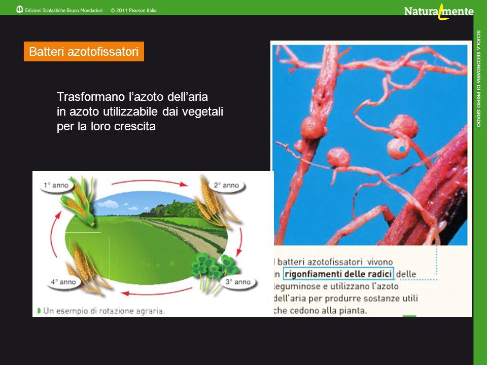 Trasformano l'azoto dell'aria in azoto utilizzabile dai vegetali per la loro crescita Batteri azotofissatori