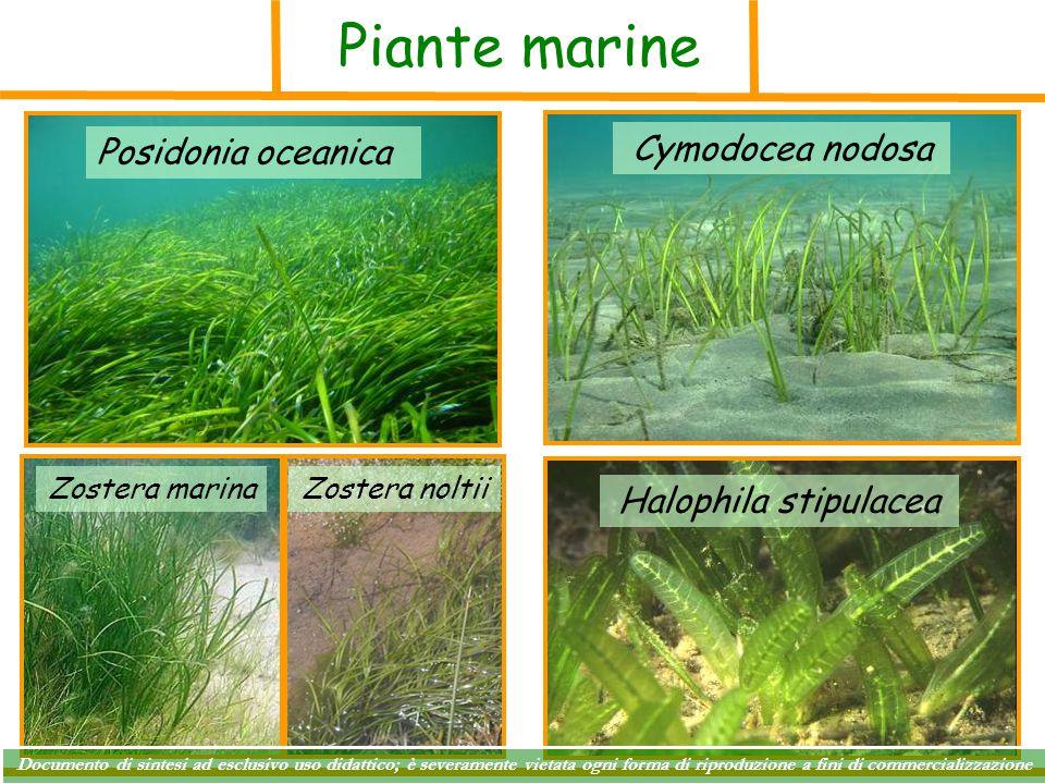 Piante marine Posidonia oceanica Cymodocea nodosa Halophila stipulacea Zostera marinaZostera noltii Documento di sintesi ad esclusivo uso didattico; è