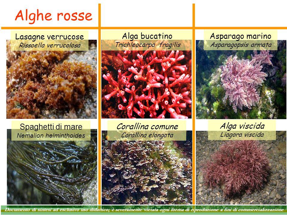 Alghe rosse Alga bucatino Trichleocarpa fragilis Corallina comune Corallina elongata Lasagne verrucose Rissoella verrucolosa Asparago marino Asparagop