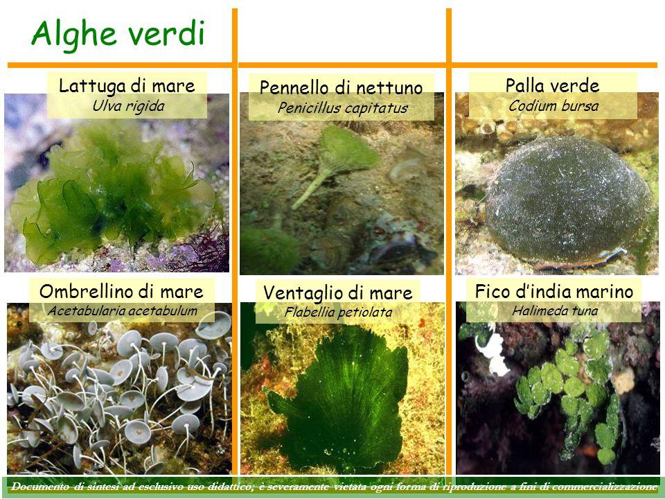 Alghe verdi Lattuga di mare Ulva rigida Ombrellino di mare Acetabularia acetabulum Pennello di nettuno Penicillus capitatus Fico d'india marino Halime