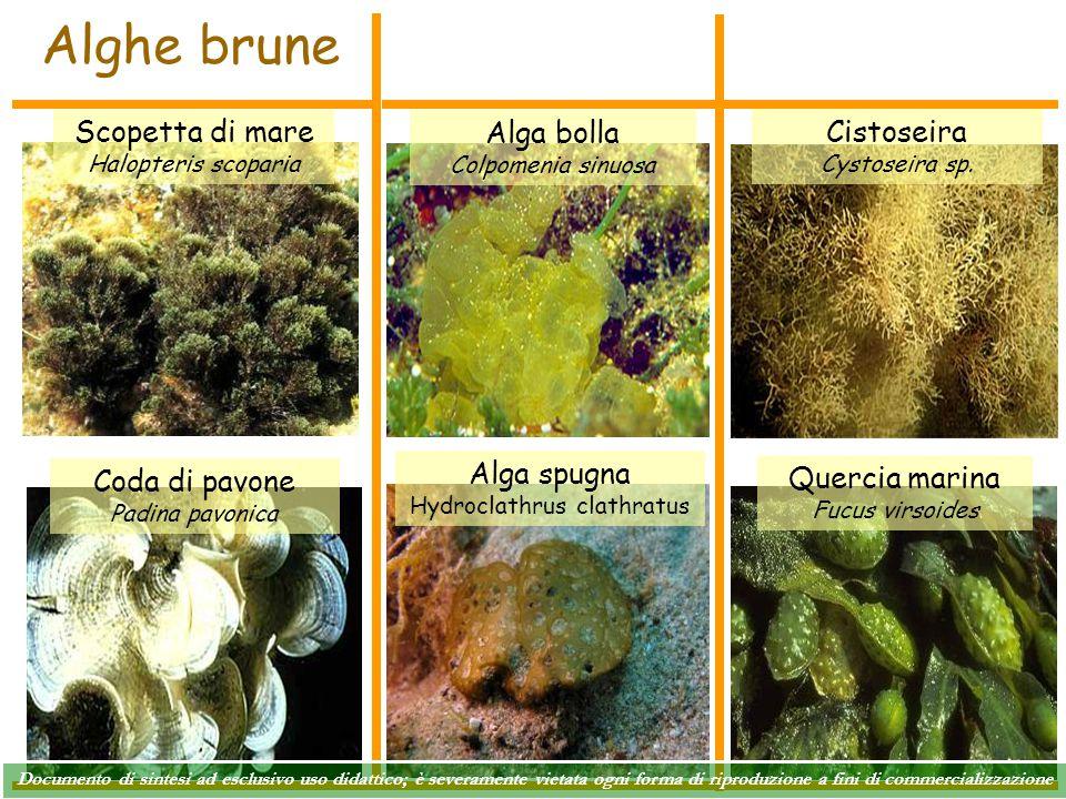 Alghe brune Cistoseira Cystoseira sp. Alga bolla Colpomenia sinuosa Coda di pavone Padina pavonica Scopetta di mare Halopteris scoparia Quercia marina