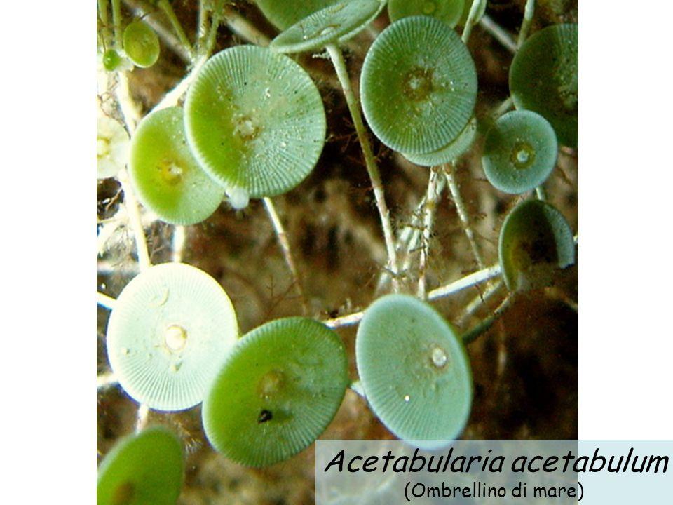 Acetabularia acetabulum (Ombrellino di mare)