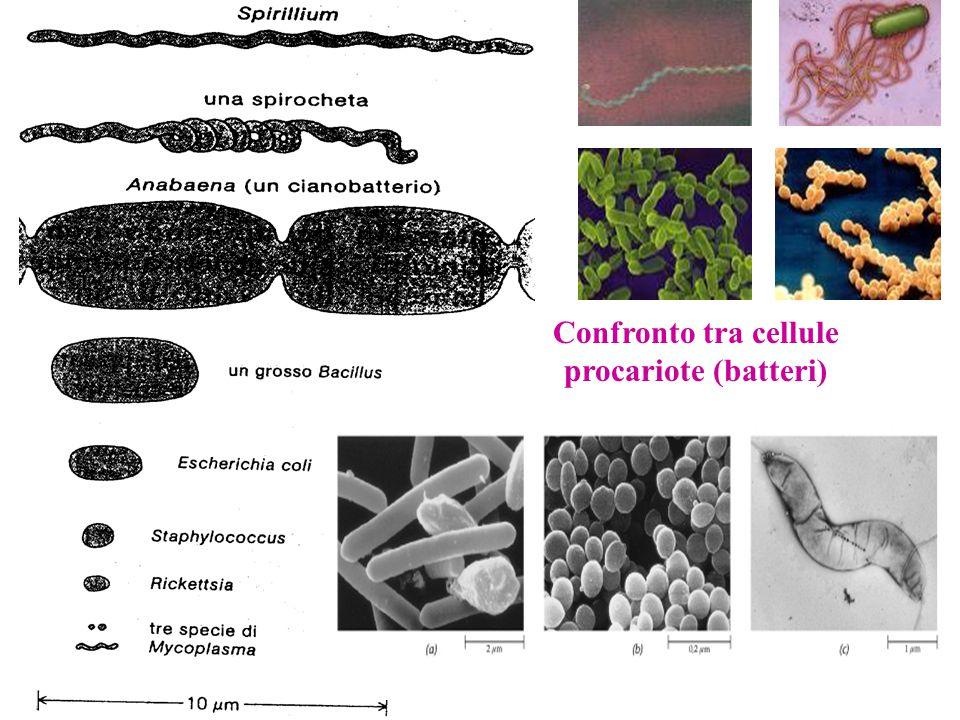 Confronto tra cellule procariote (batteri)