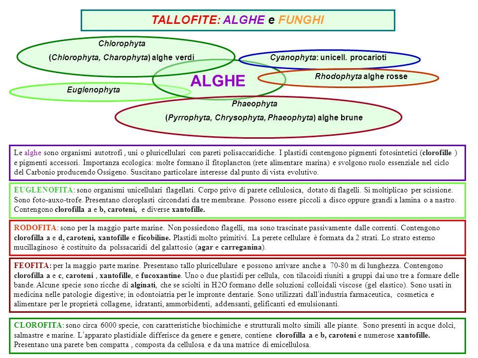 TALLOFITE: ALGHE e FUNGHI Euglenophyta ALGHE Phaeophyta (Pyrrophyta, Chrysophyta, Phaeophyta) alghe brune Cyanophyta: unicell. procarioti Rhodophyta a