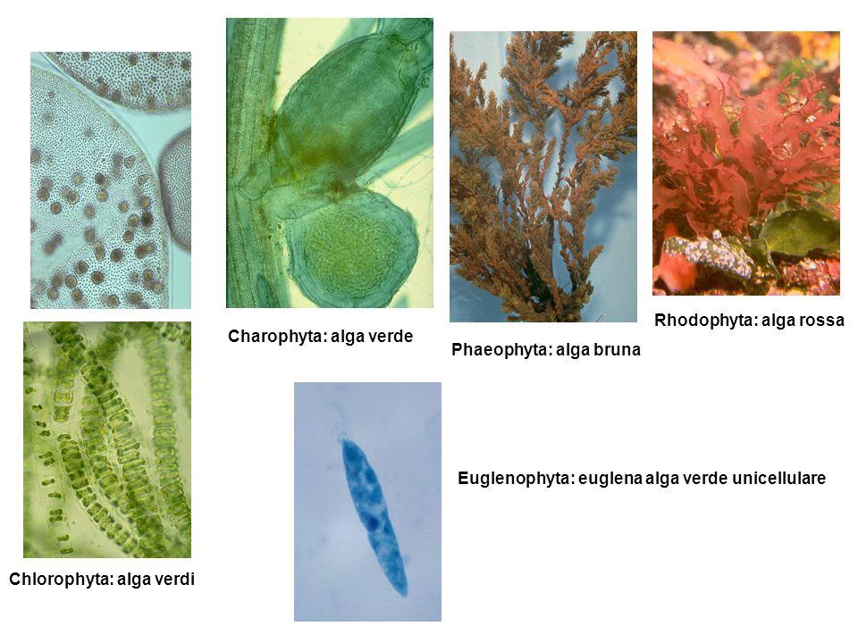 Charophyta: alga verde Chlorophyta: alga verdi Phaeophyta: alga bruna Rhodophyta: alga rossa Euglenophyta: euglena alga verde unicellulare