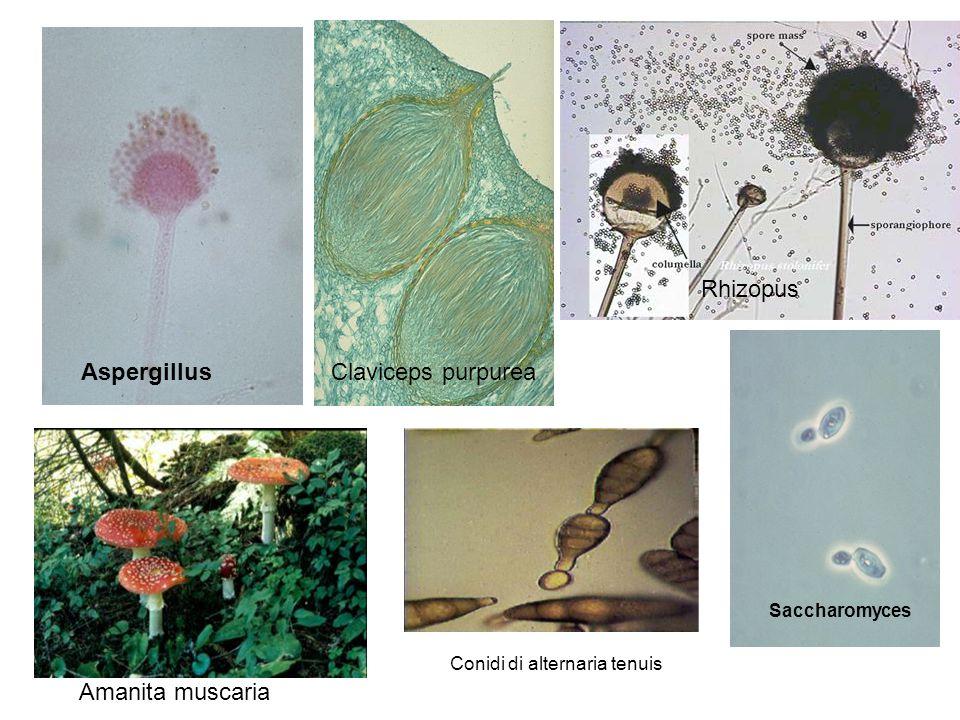 AspergillusClaviceps purpurea Rhizopus Saccharomyces Amanita muscaria Conidi di alternaria tenuis