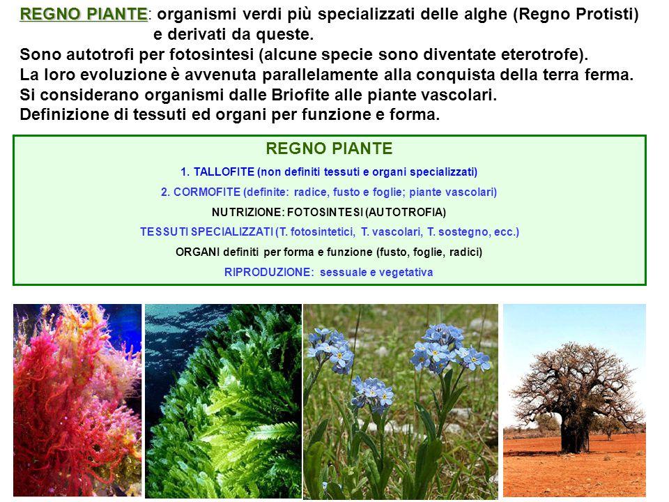 REGNO PIANTE REGNO PIANTE: organismi verdi più specializzati delle alghe (Regno Protisti) e derivati da queste. Sono autotrofi per fotosintesi (alcune