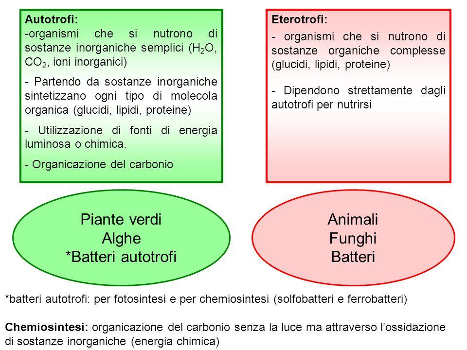 Piante verdi Alghe *Batteri autotrofi Animali Funghi Batteri *batteri autotrofi: per fotosintesi e per chemiosintesi (solfobatteri e ferrobatteri) Che