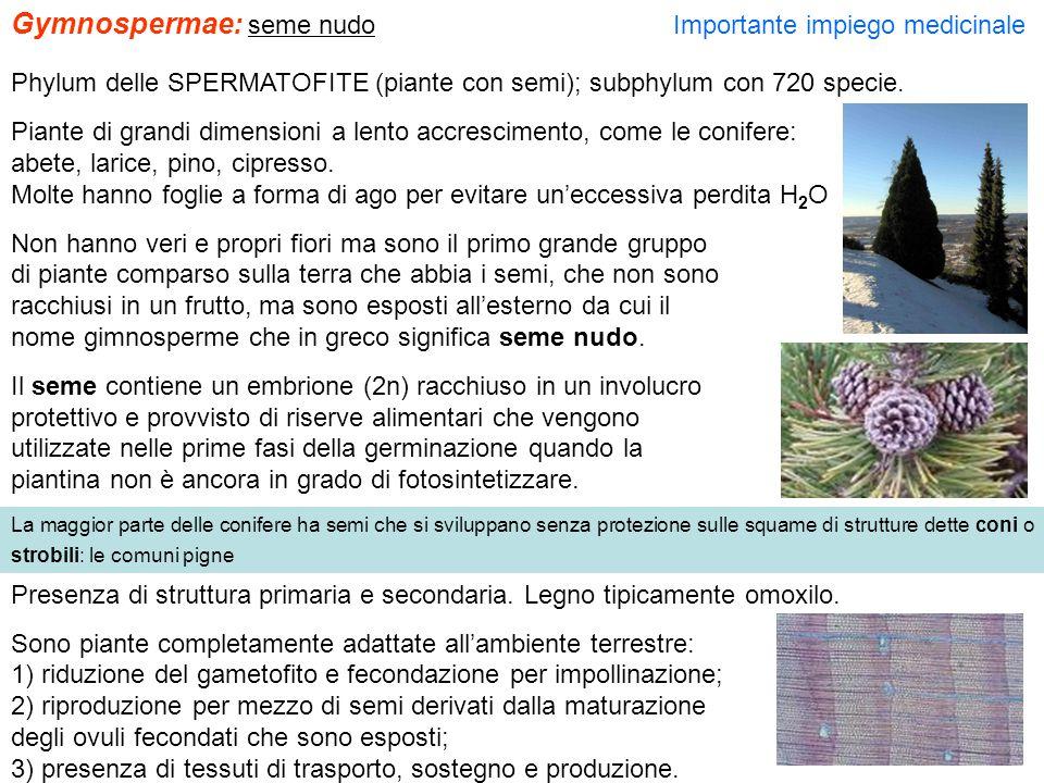 Gymnospermae: seme nudo Importante impiego medicinale Phylum delle SPERMATOFITE (piante con semi); subphylum con 720 specie. Piante di grandi dimensio