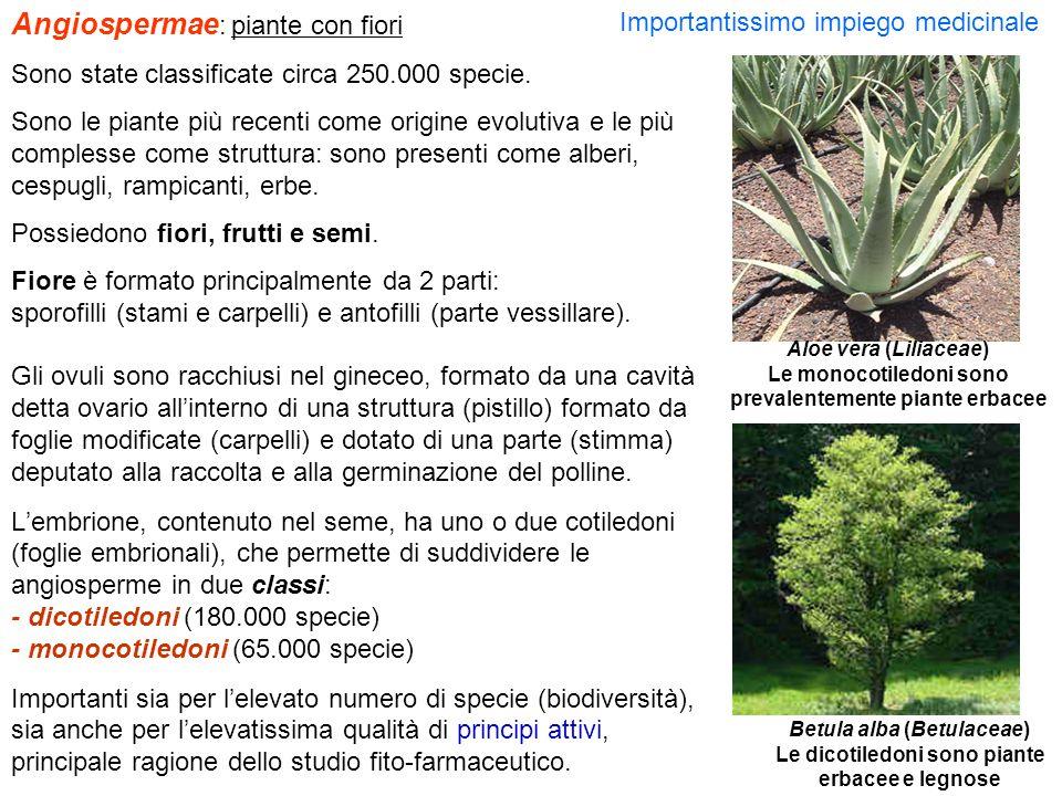 Angiospermae : piante con fiori Sono state classificate circa 250.000 specie. Sono le piante più recenti come origine evolutiva e le più complesse com