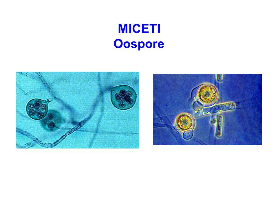 MICETI Oospore