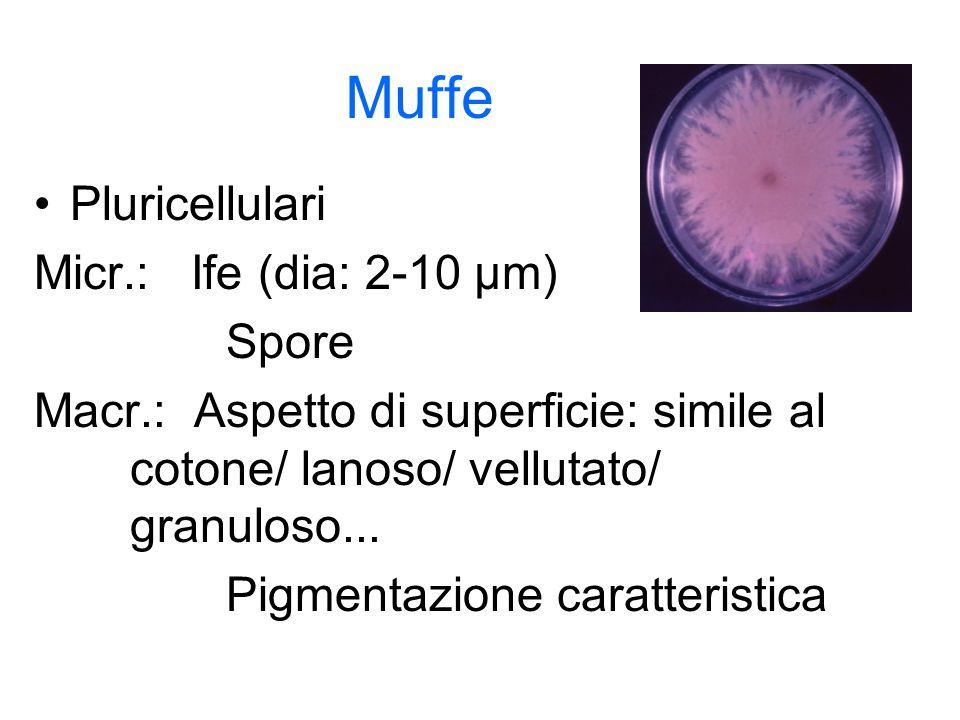 Muffe Pluricellulari Micr.: Ife (dia: 2-10 µm) Spore Macr.: Aspetto di superficie: simile al cotone/ lanoso/ vellutato/ granuloso... Pigmentazione car