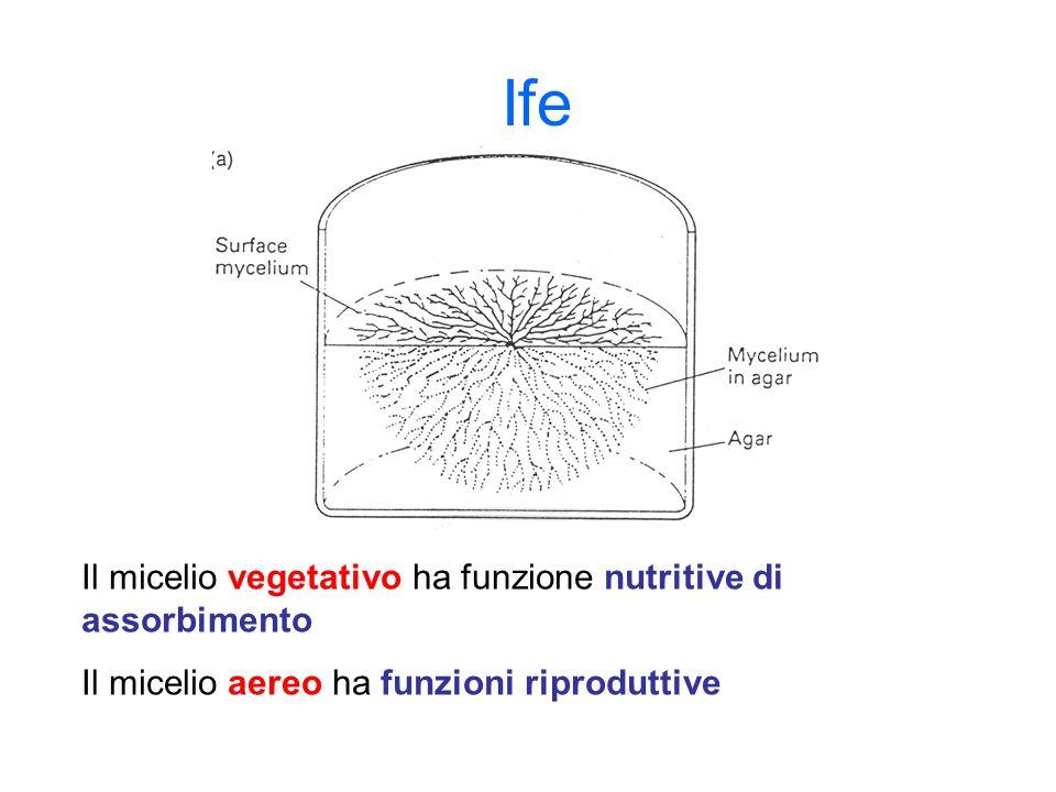 Ife Il micelio vegetativo ha funzione nutritive di assorbimento Il micelio aereo ha funzioni riproduttive