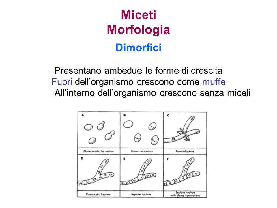 Miceti Morfologia Dimorfici Presentano ambedue le forme di crescita Fuori dell'organismo crescono come muffe All'interno dell'organismo crescono senza miceli