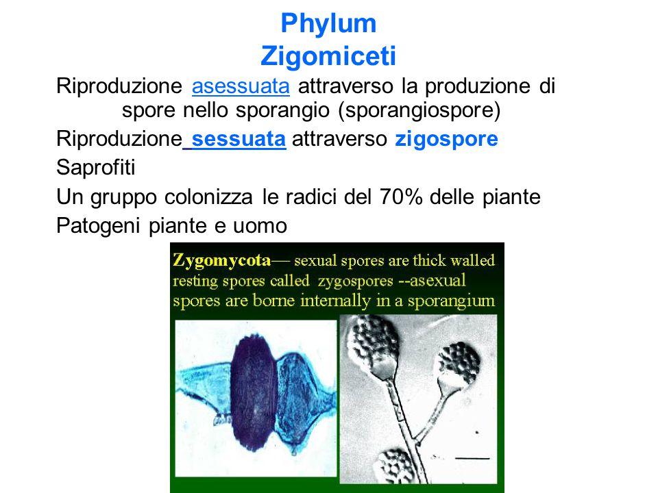 Phylum Zigomiceti Riproduzione asessuata attraverso la produzione di spore nello sporangio (sporangiospore) Riproduzione sessuata attraverso zigospore Saprofiti Un gruppo colonizza le radici del 70% delle piante Patogeni piante e uomo