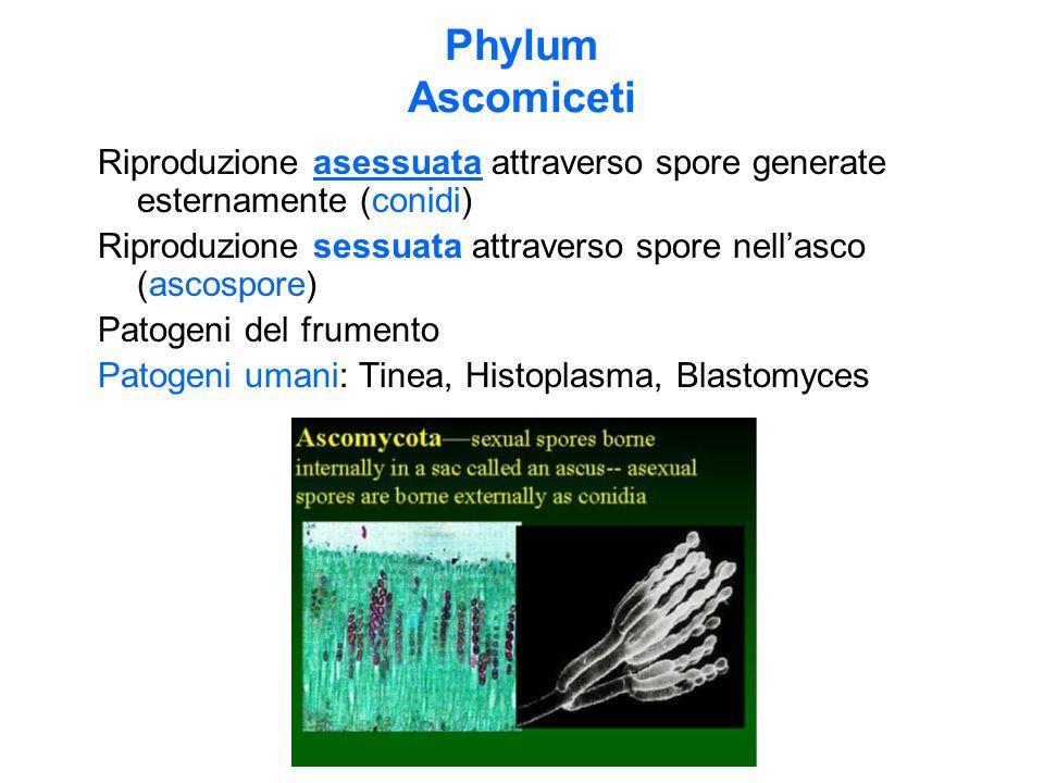 Phylum Ascomiceti Riproduzione asessuata attraverso spore generate esternamente (conidi) Riproduzione sessuata attraverso spore nell'asco (ascospore) Patogeni del frumento Patogeni umani: Tinea, Histoplasma, Blastomyces