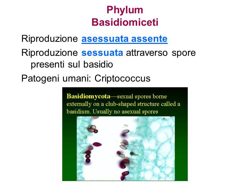 Phylum Basidiomiceti Riproduzione asessuata assente Riproduzione sessuata attraverso spore presenti sul basidio Patogeni umani: Criptococcus