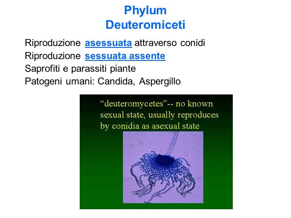 Phylum Deuteromiceti Riproduzione asessuata attraverso conidi Riproduzione sessuata assente Saprofiti e parassiti piante Patogeni umani: Candida, Aspe