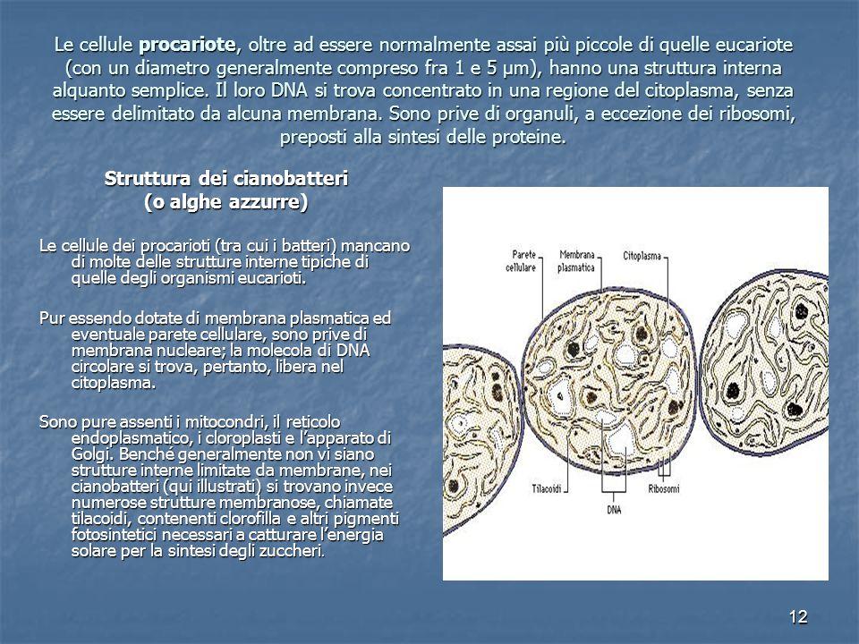 12 Le cellule procariote, oltre ad essere normalmente assai più piccole di quelle eucariote (con un diametro generalmente compreso fra 1 e 5 µm), hanno una struttura interna alquanto semplice.