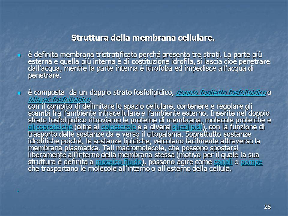 25 Struttura della membrana cellulare. Struttura della membrana cellulare. è definita membrana tristratificata perché presenta tre strati. La parte pi